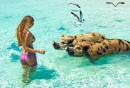 Weird but True, the Incredible Swimming Pigs of Exuma, The